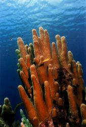 Castles in the Sea - Pillar Coral.